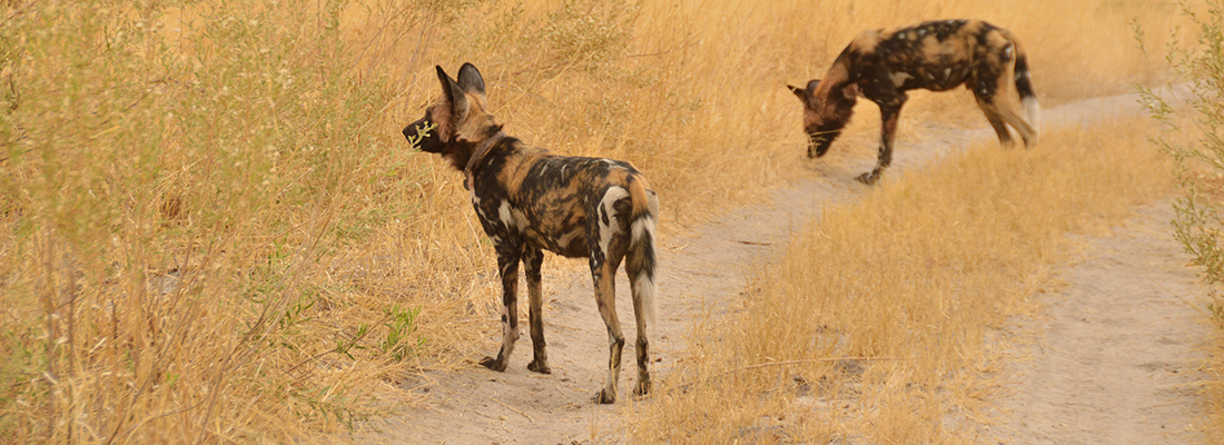 Wild Dogs of the Okavango Delta