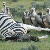 Vultures gather at a zebra carcass in Etosha National Park in Namibia. Anthrax is caused by a bacterium that invades and kills its animal host. PHOTO: Holly Ganz