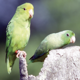 Male and female (yellow forehead) green-rumped parrotlets in Venezuela.