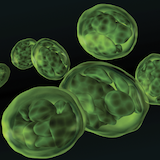 Photosynthesizing cyanobacteria invaded the earliest one-celled plants about 900 million years ago, eventually becoming chloroplasts (pictured) that conferred on plants the ability to convert sunlight into energy. PHOTO: iStockphoto
