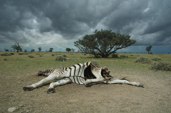Anthrax outbreaks kill herbivores like the zebra, pictured in Etosha National Park, Namibia.
