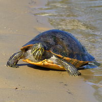 The E. O. Wilson Biodiversity Foundation is working to get the Mobile-Tensaw River Delta region of Alabama designated as a national park and preserve. Some life found there includes: The Alabama red-bellied turtle, which was placed on the endangered species list in 1987. PHOTO: Jim Godwin