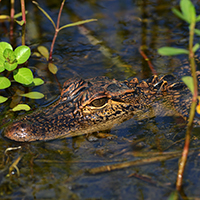 The American alligator, whose population was decimated by hunting before it was listed as an endangered species in 1973; thanks to conservation efforts, it rebounded, and it was removed from the list in 1987. PHOTO: Lewis Scharpf