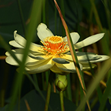 The American lotus, which thrives in wetland areas. PHOTO: Lewis Scharpf