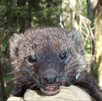 Endangered fisher. PHOTO: Courtesy of the Sierra Nevada Adaptive Management Project
