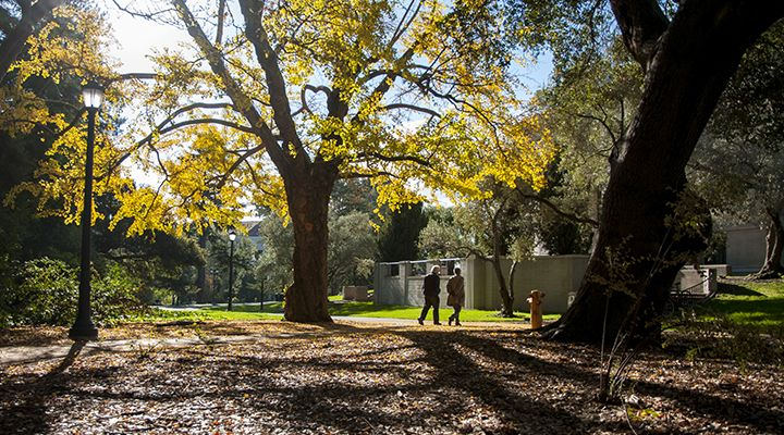 people walking under a tree with bright yellow leaves on the Berkeley campus