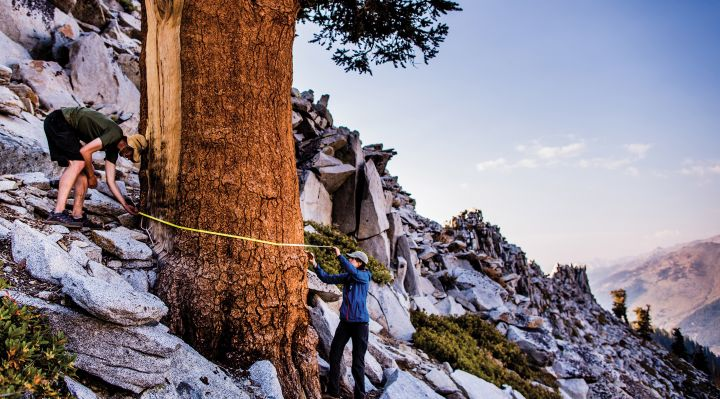 Researchers measuring a tree in the Sierra Nevada