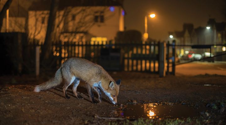 image of a fox on a city street at night