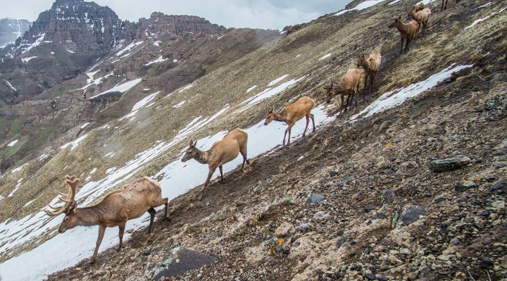 Elk migrating in the Greater Yellowstone Ecosystem