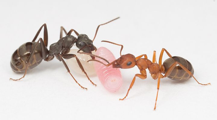 Two ants and larvae