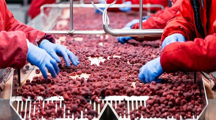 hands sorting berries in a factory