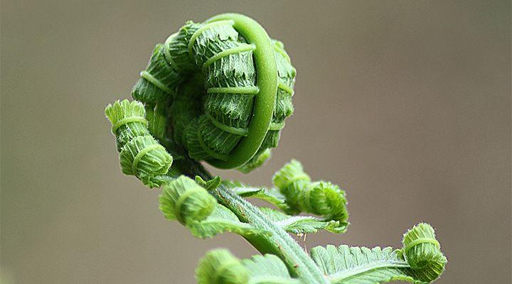 a fern starting to unfurl