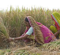 In the state of Uttar Pradesh, women harvest Swarna Sub1, a Stress-Tolerant Rice for Africa and South Asia (STRASA) variety from the International Rice Research Institute. PHOTO: Ellie Turner