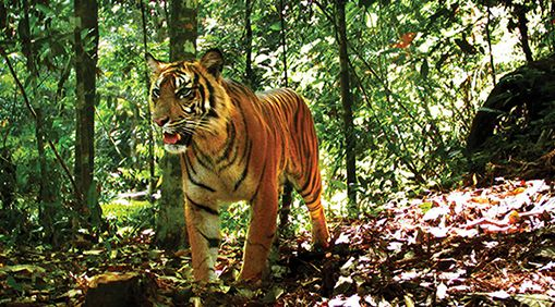 A tiger in Gunung Leuser National Park, a UNESCO World Heritage Site in North Sumatra, Indonesia. Matthew Luskin, a PhD candidate in ESPM studied them.