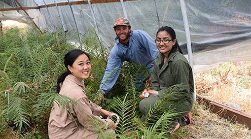 Three undergraduates and prof Celine Pallud research the fern Pteris vittata's ability to remove arsenic from soil.