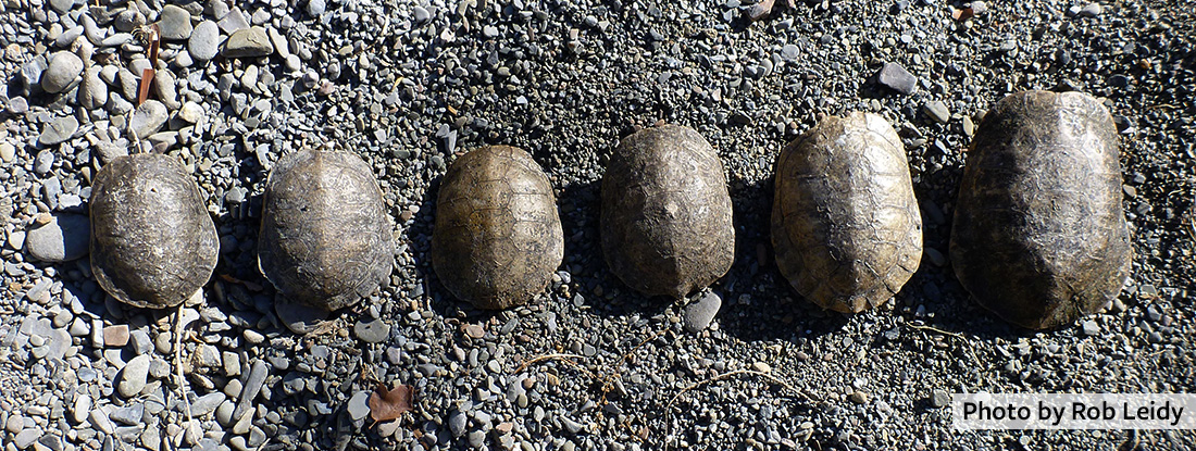 Die-off of pond turtles during extreme drought at Coyote Creek