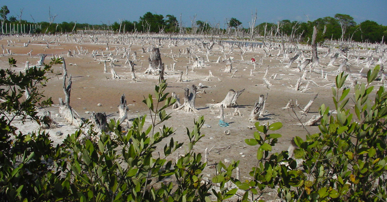 Mangrove Dieoff in the Yucatan
