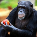 Study Finds Chimps Can Cook but They're Too Tired After Work So They Just Order In