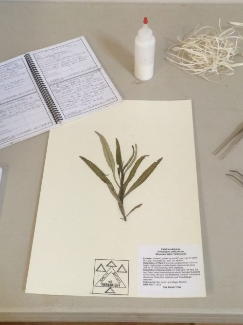 Mounted plant, notebook, glue and tools for herbaria specimens