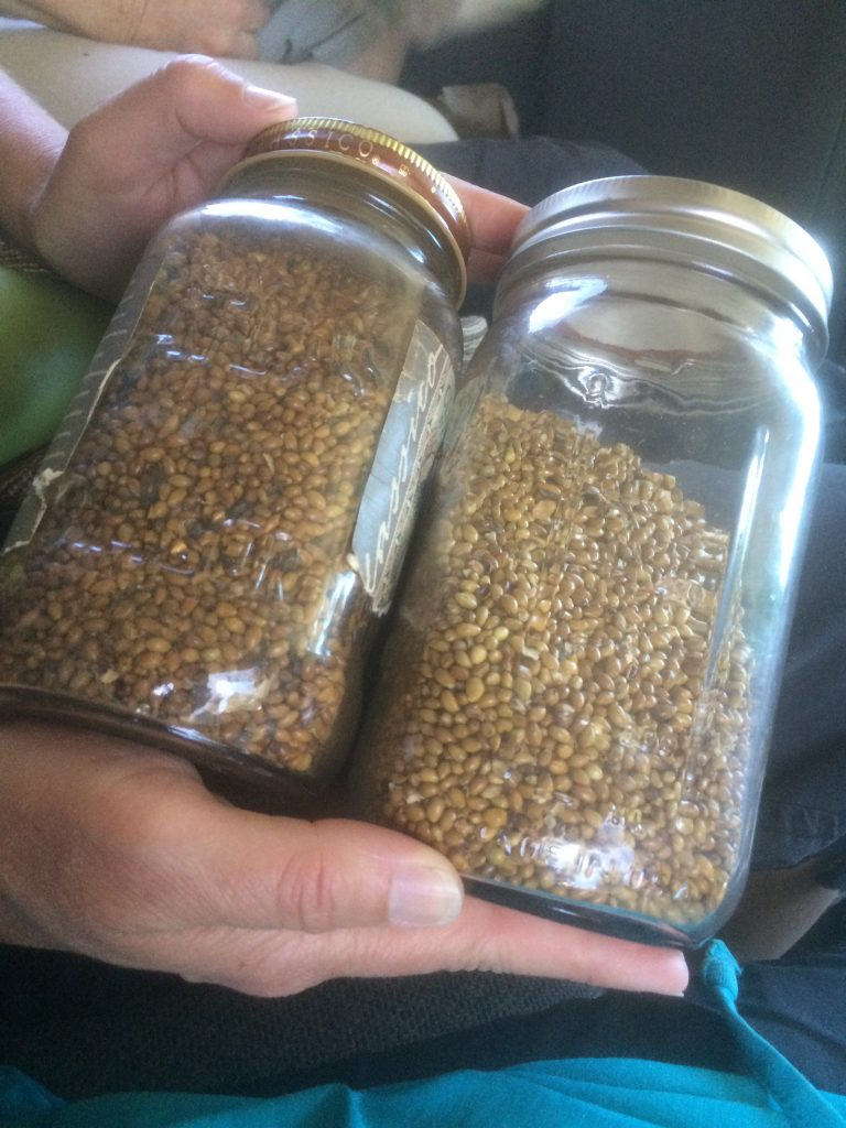 two hands hold mason jars of dried wocus seeds