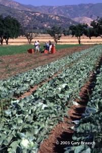 Cabbaage field and carrot harvest, fully organic Full Belly Farm near David CA