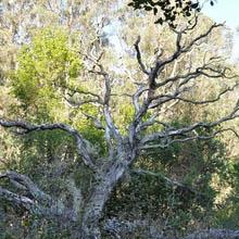 NSF: SOD fells CA oaks in their prime