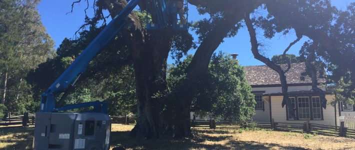 Notes From the Field: Jack London Tree