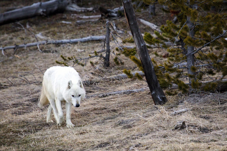 Image credit: Neal Herbert/Yellowstone National Park via AP