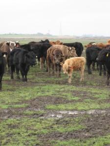 cows delta