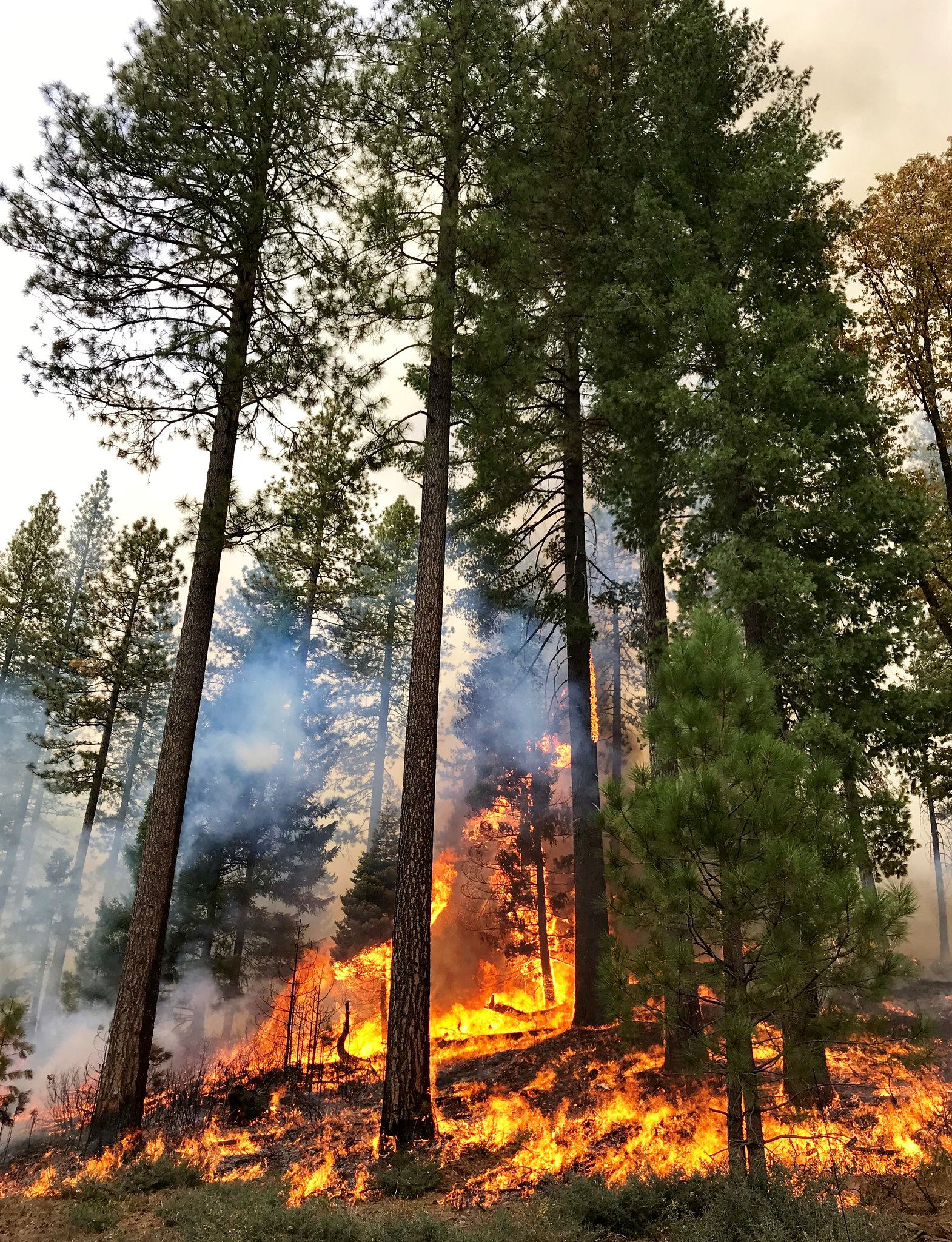 Tall trees and a fire in the forest during a prescribed burn