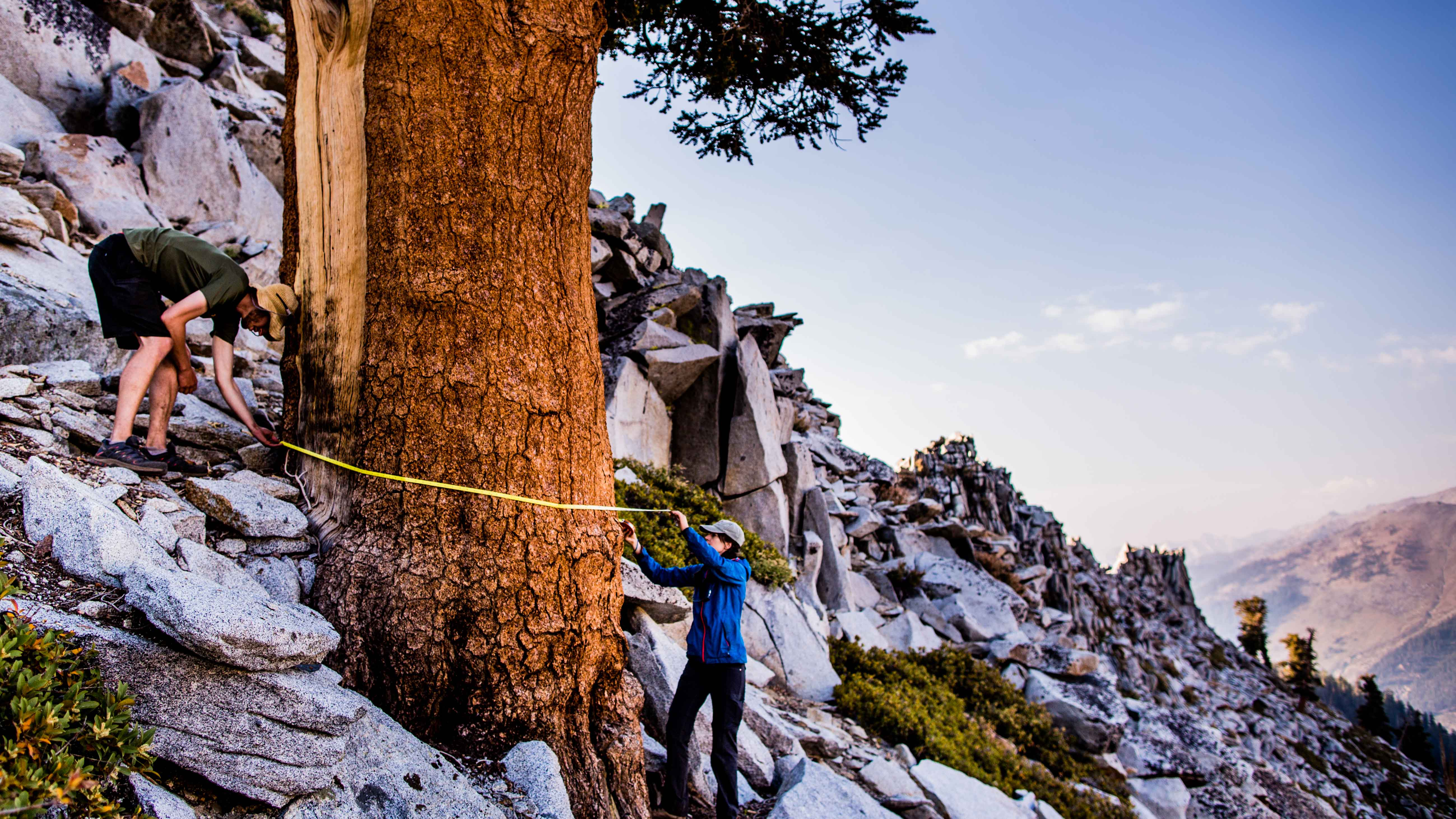 Two researchers measure a tree on a Sierra mountaintop