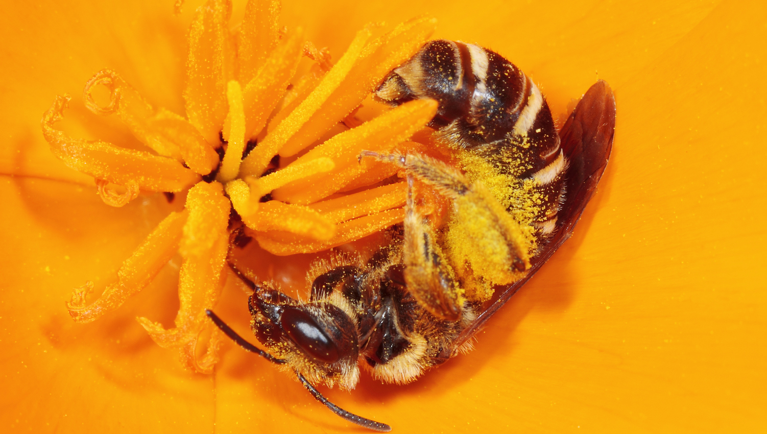 Sweat bee on a California poppy