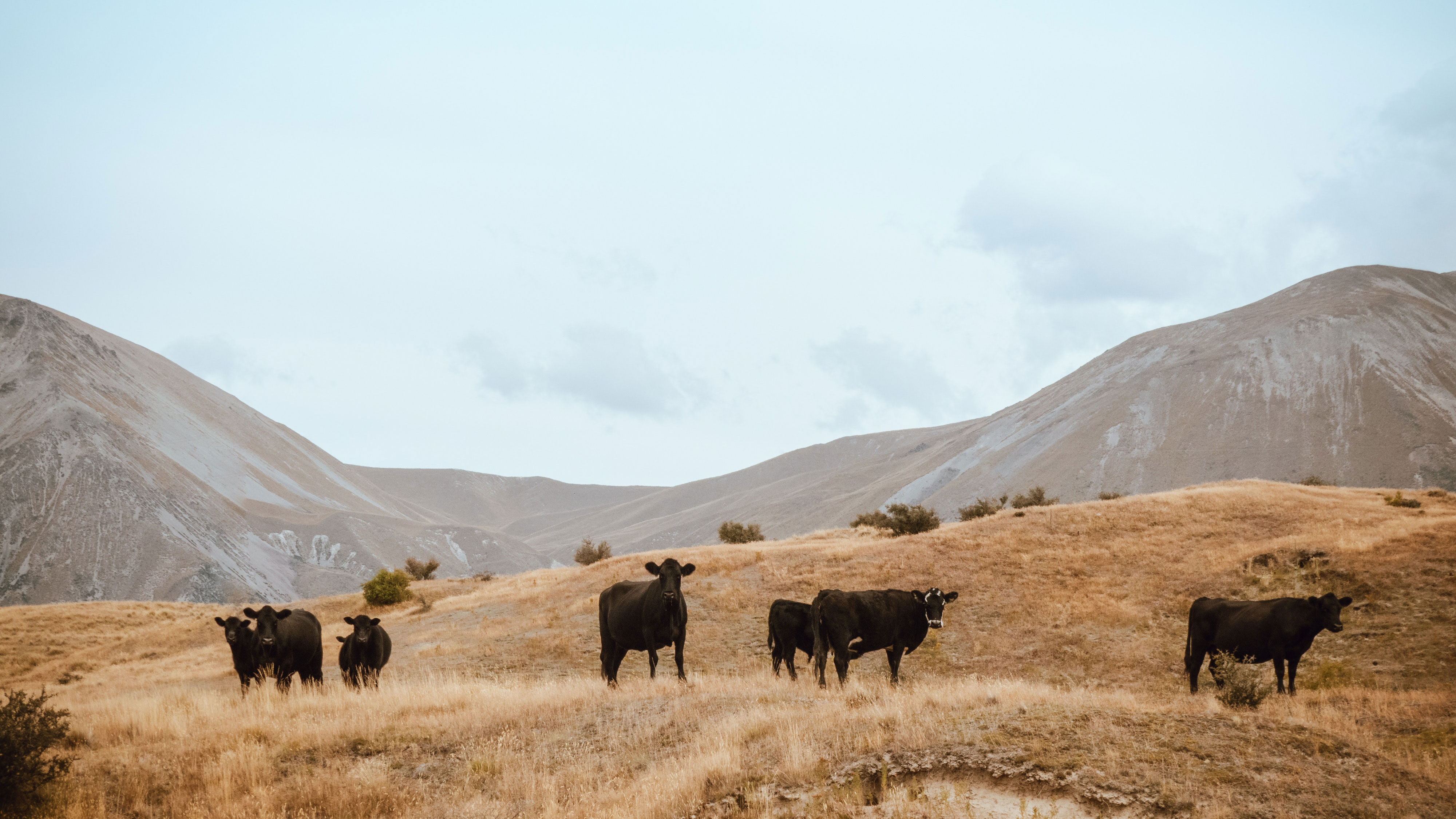 Five cows in foreground.