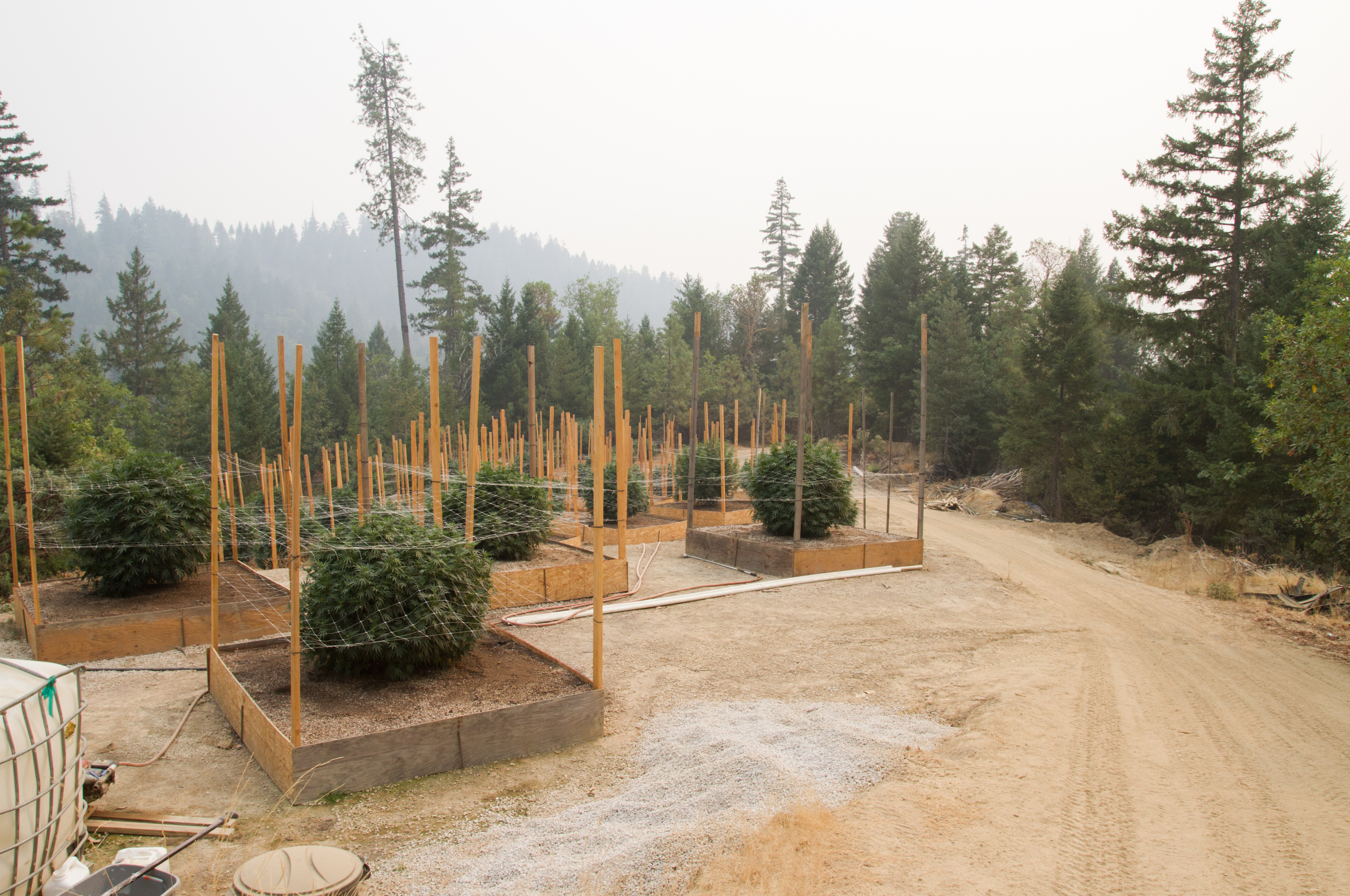 Cannabis farm, with plants in separated beds.