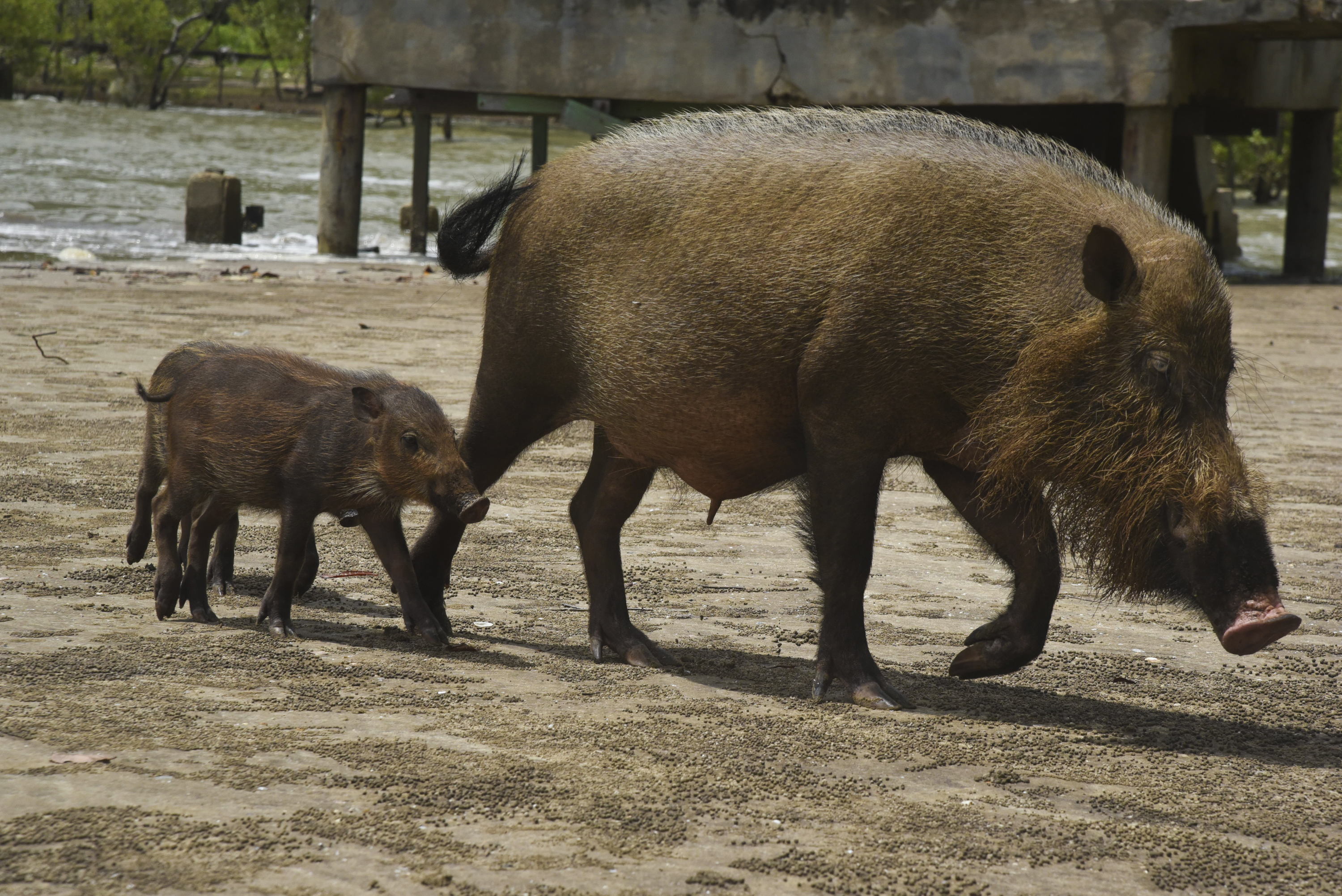 A bearded pig sow and piglet