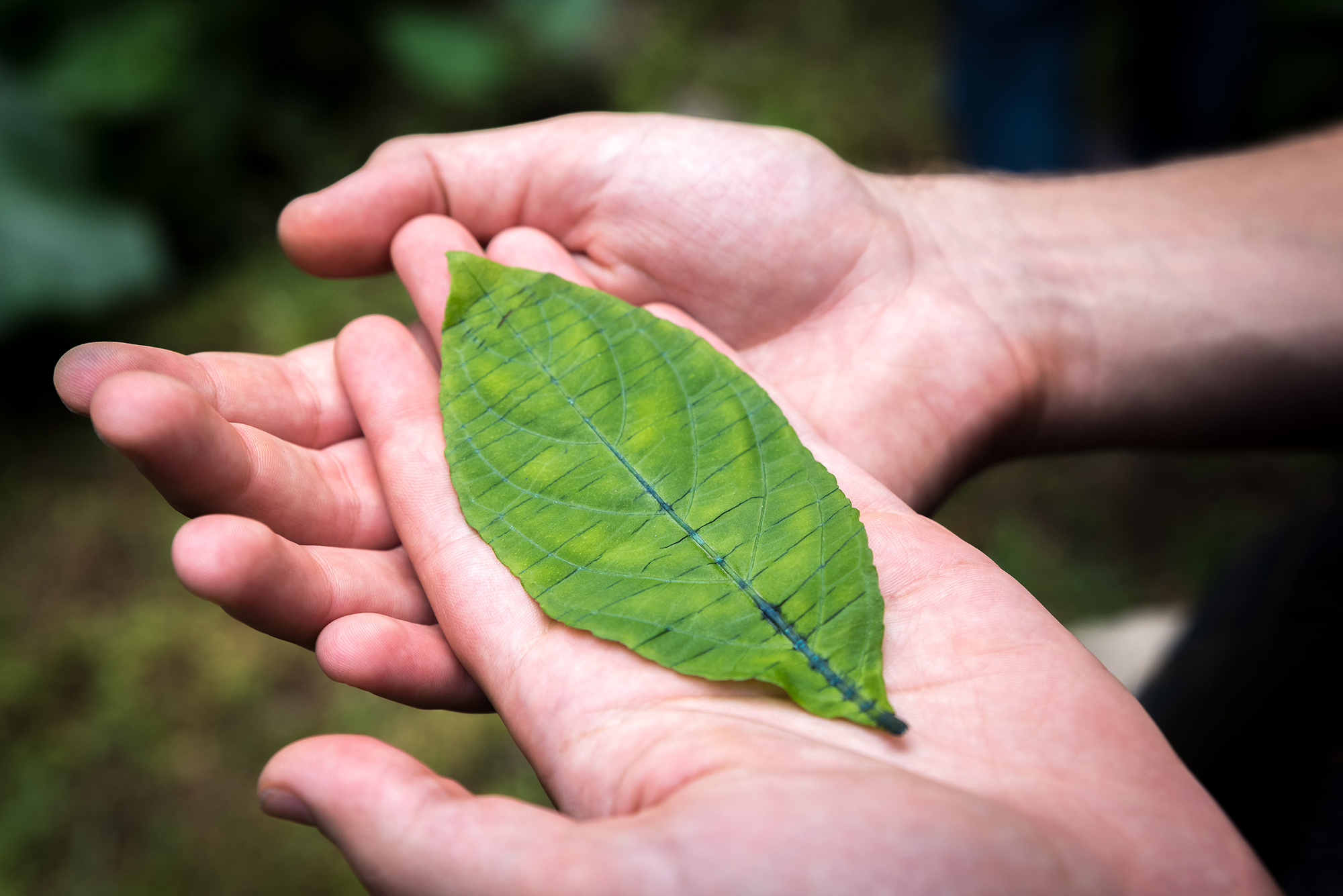 Two hands holding a leaf. The main vein of the leaf is a dark blue color.