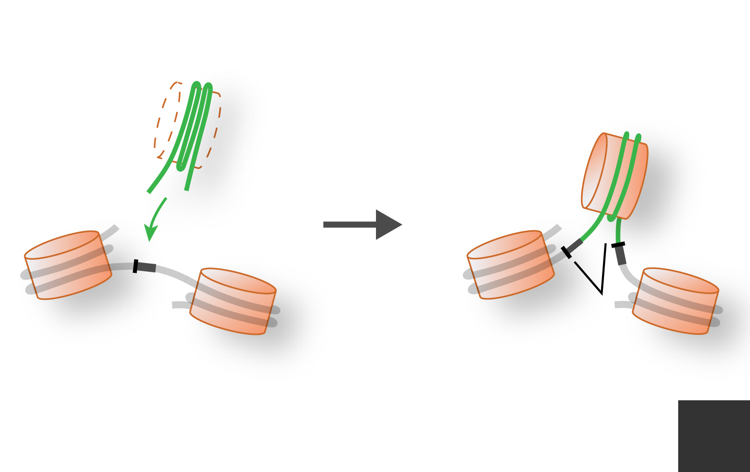 Representation of a DNA transposon jumping into a gene to make a new intron.