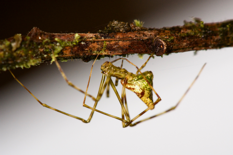 Mottled Molokai spider