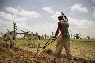 Farmer in southeastern Mali uses cows to till his field