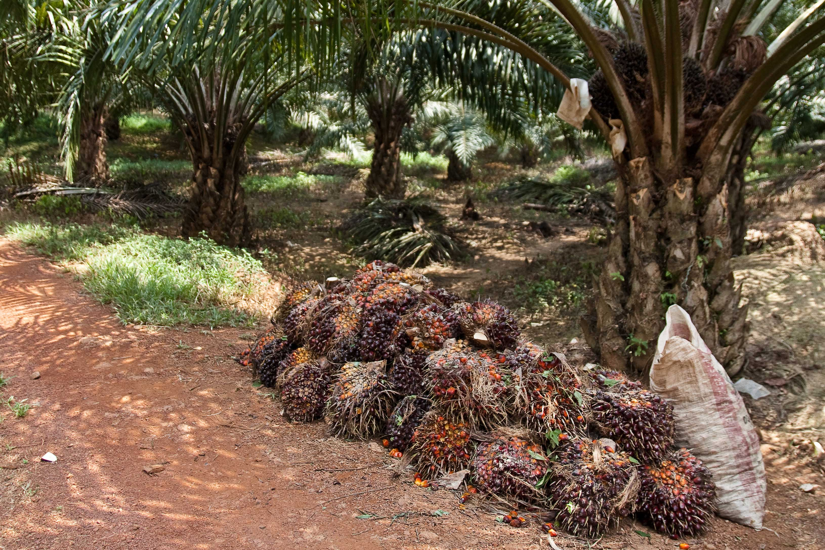 oil palm fruits at harvest