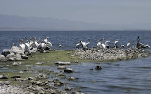 Salton_Sea_birds_crop_305.jpg