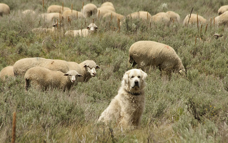 Dog standing in a sheep field