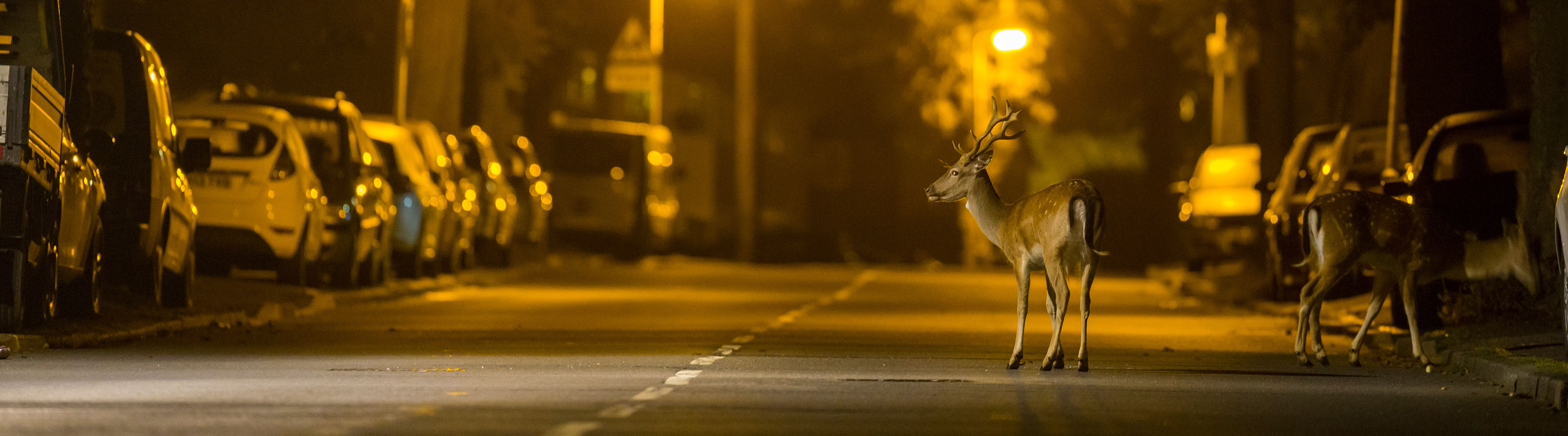 two deer stand in an urban street at night under street lamps