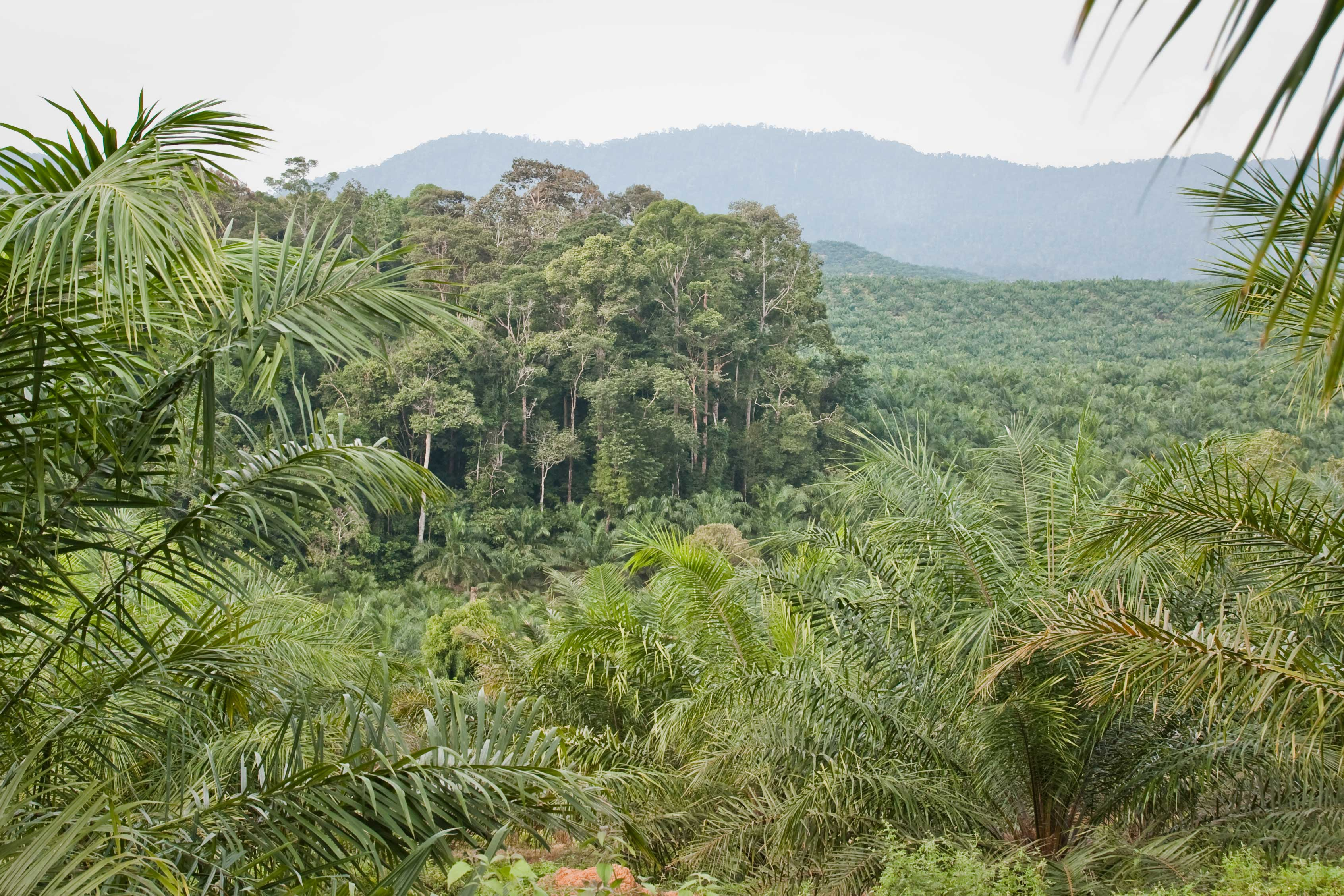 A research forest right next to an oil palm field