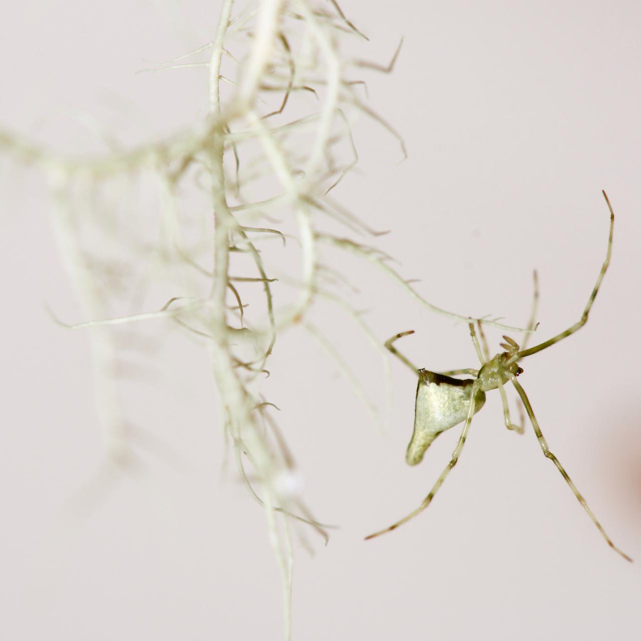 White Maui spider