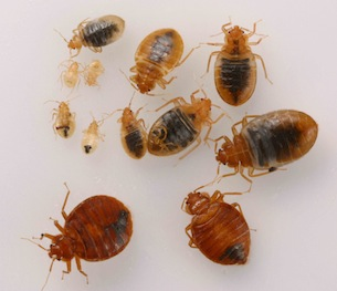 Bedbugs Won T Take The Bait Uc Berkeley College Of