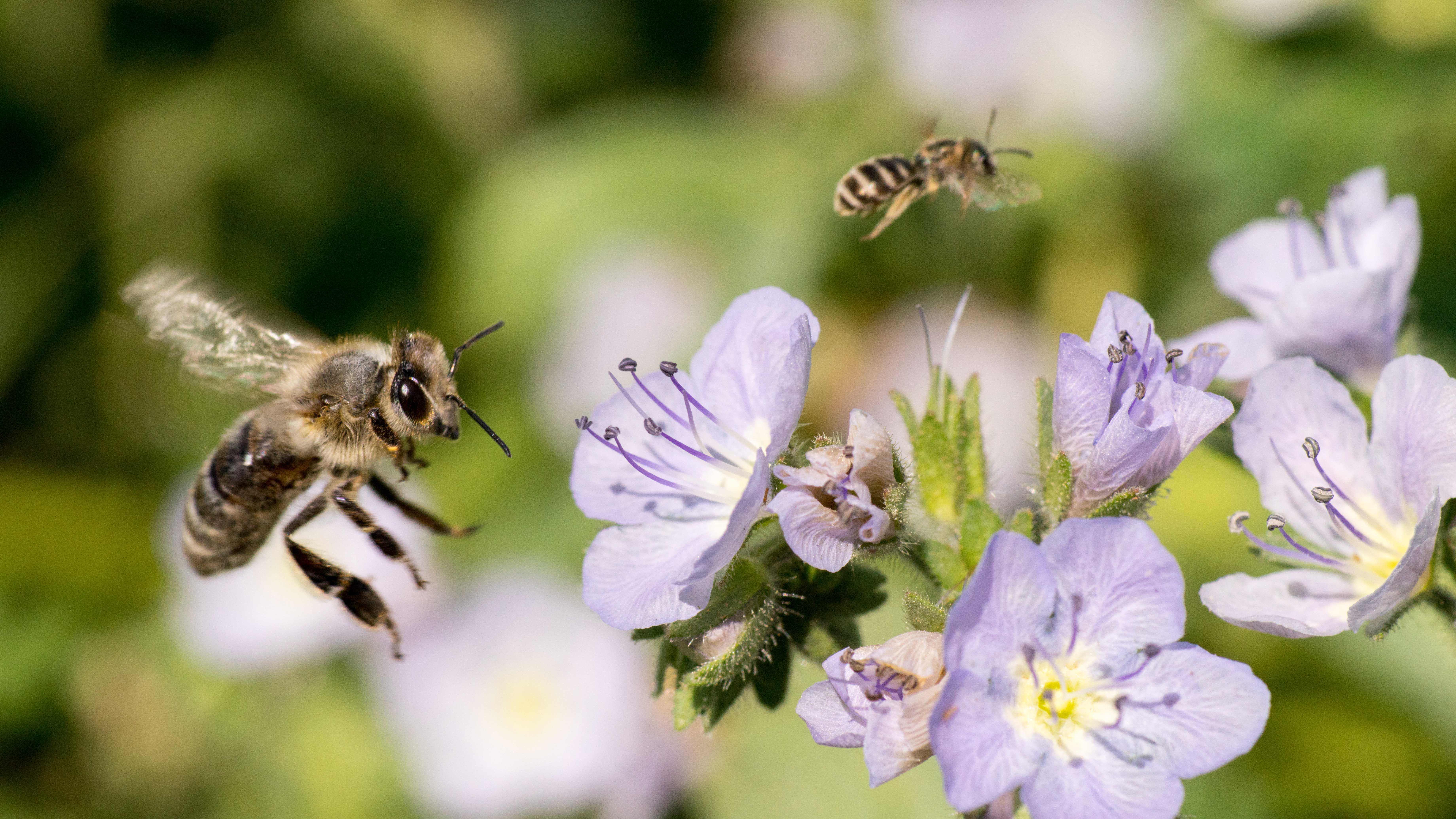 Bees visiting purple flowers