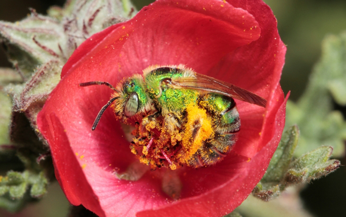 A bee in a red flower covered with pollen