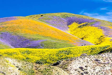 Superbloom at Carrizo Plain