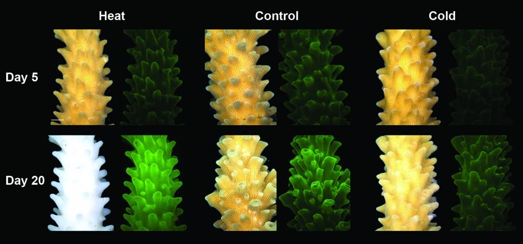 Coral gets brighter as it dies